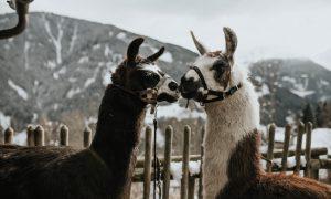 Lama Lovestory im Montafon